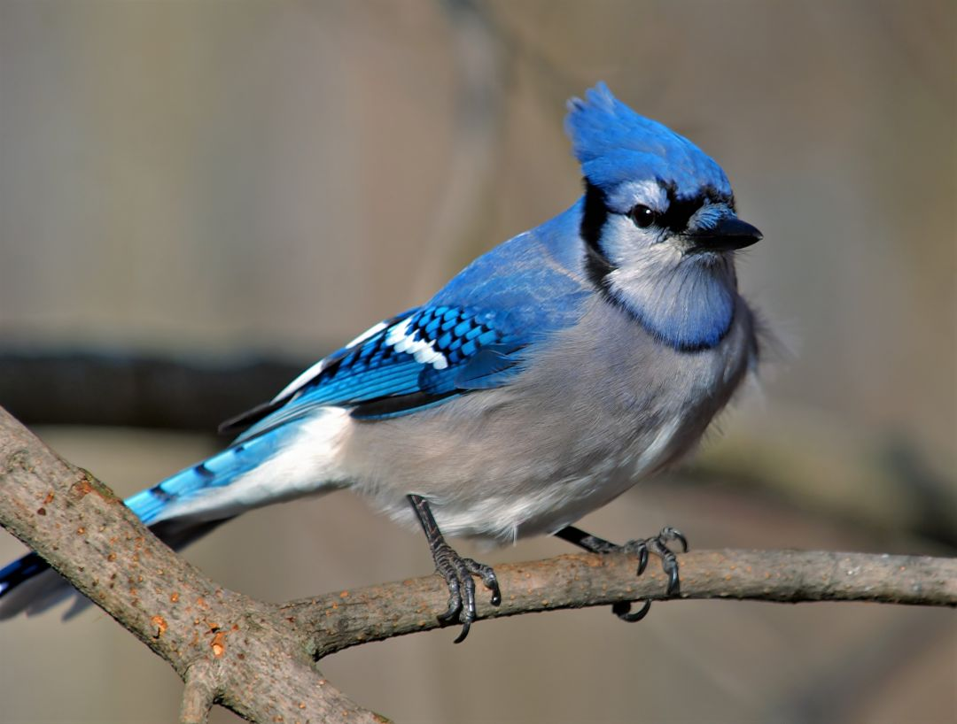 4k Blue Jay - Android, iPhone, Desktop HD Backgrounds / Wallpapers (1080p, 4k) HD Wallpapers (Desktop Background / Android / iPhone) (1080p, 4k) (698789) - Birds