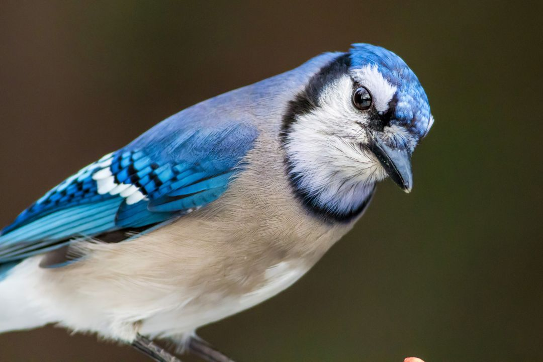Blue Jay - Android, iPhone, Desktop HD Backgrounds / Wallpapers (1080p, 4k) HD Wallpapers (Desktop Background / Android / iPhone) (1080p, 4k) (698704) - Birds