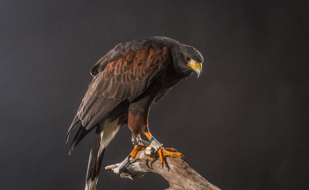Harriss Hawk - Android, iPhone, Desktop HD Backgrounds / Wallpapers (1080p, 4k) HD Wallpapers (Desktop Background / Android / iPhone) (1080p, 4k) (698784) - Birds