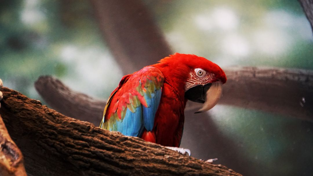 Macaw Parrot Closeup - Android, iPhone, Desktop HD Backgrounds / Wallpapers (1080p, 4k) HD Wallpapers (Desktop Background / Android / iPhone) (1080p, 4k) (698685) - Birds