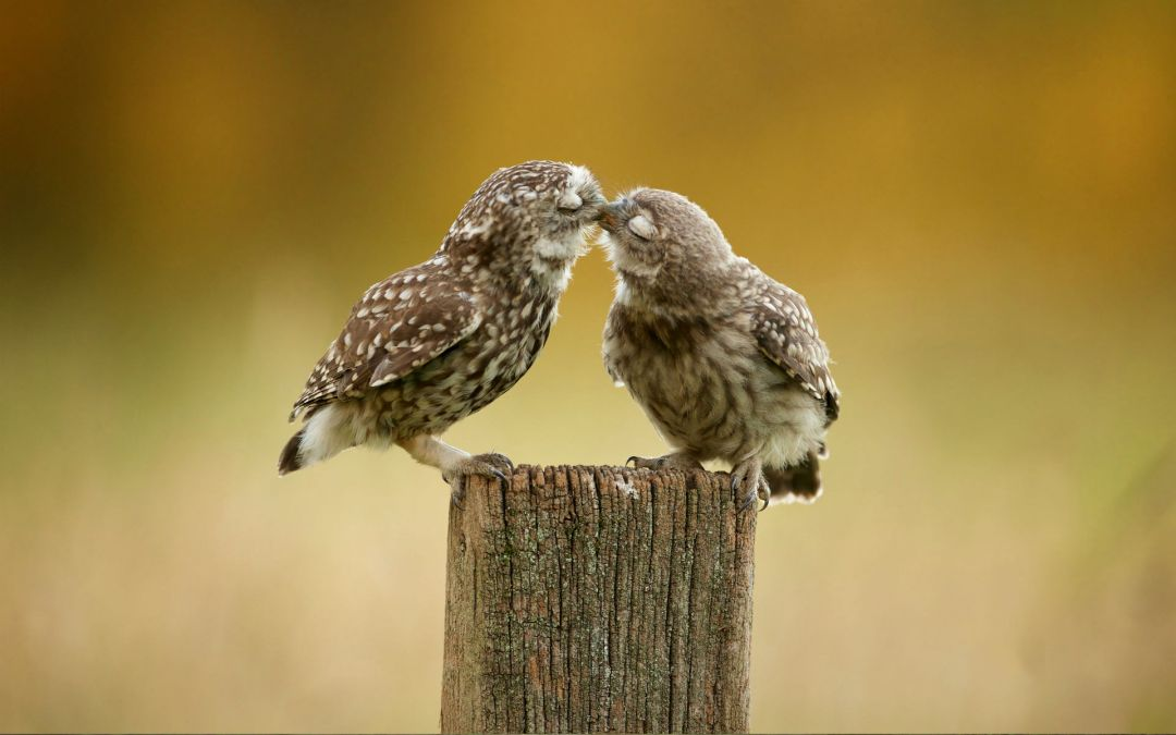 Owl Couple - Android, iPhone, Desktop HD Backgrounds / Wallpapers (1080p, 4k) HD Wallpapers (Desktop Background / Android / iPhone) (1080p, 4k) (698864) - Birds