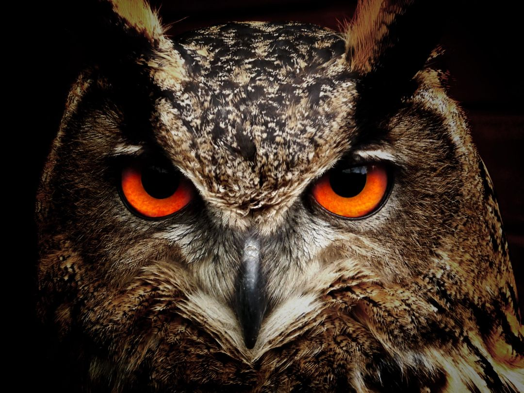 Owl Eagle Eyes - Android, iPhone, Desktop HD Backgrounds / Wallpapers (1080p, 4k) HD Wallpapers (Desktop Background / Android / iPhone) (1080p, 4k) (698838) - Birds