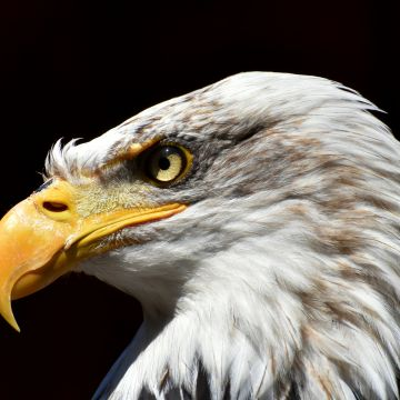 Bald Eagle Adler  - Android, iPhone, Desktop HD Backgrounds / Wallpapers (1080p, 4k) HD Wallpapers (Desktop Background / Android / iPhone) (1080p, 4k)