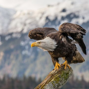 Bald Eagle - Android, iPhone, Desktop HD Backgrounds / Wallpapers (1080p, 4k) HD Wallpapers (Desktop Background / Android / iPhone) (1080p, 4k)