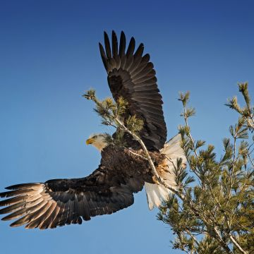 Bald Eagle Open Wings - Android / iPhone HD Wallpaper Background Download HD Wallpapers (Desktop Background / Android / iPhone) (1080p, 4k)