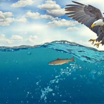 Bald Eagle Raptor Catching Fish - Android / iPhone HD Wallpaper Background Download HD Wallpapers (Desktop Background / Android / iPhone) (1080p, 4k)