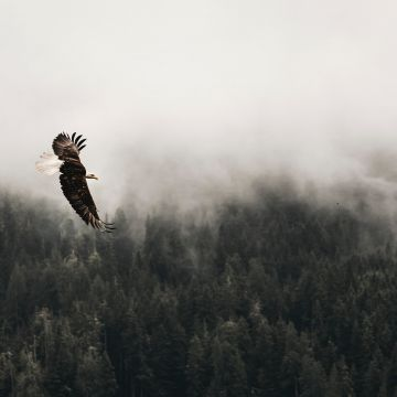 Bald Eagle Sky  - Android, iPhone, Desktop HD Backgrounds / Wallpapers (1080p, 4k) HD Wallpapers (Desktop Background / Android / iPhone) (1080p, 4k)