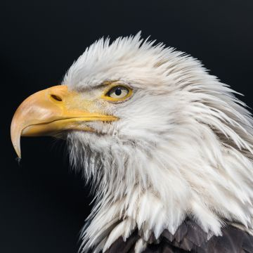 Bald Eagle Wild - Android, iPhone, Desktop HD Backgrounds / Wallpapers (1080p, 4k) HD Wallpapers (Desktop Background / Android / iPhone) (1080p, 4k)