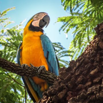 Blue And Yellow Macaw - Android / iPhone HD Wallpaper Background Download HD Wallpapers (Desktop Background / Android / iPhone) (1080p, 4k)