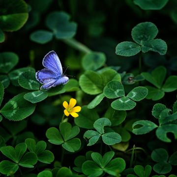 Blue Butterfly Clover - Android / iPhone HD Wallpaper Background Download HD Wallpapers (Desktop Background / Android / iPhone) (1080p, 4k)