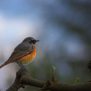 Common Redstart - Android, iPhone, Desktop HD Backgrounds / Wallpapers (1080p, 4k) HD Wallpapers (Desktop Background / Android / iPhone) (1080p, 4k)
