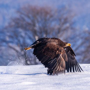 Eagle In Snow - Android, iPhone, Desktop HD Backgrounds / Wallpapers (1080p, 4k) HD Wallpapers (Desktop Background / Android / iPhone) (1080p, 4k)