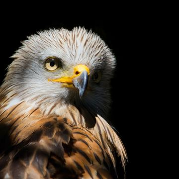 Eagle Red Kite Black Beak - Android / iPhone HD Wallpaper Background Download HD Wallpapers (Desktop Background / Android / iPhone) (1080p, 4k)