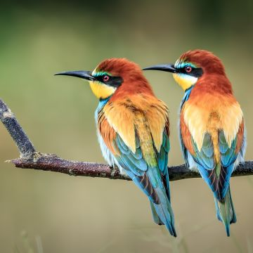 European Bee Eater - Android, iPhone, Desktop HD Backgrounds / Wallpapers (1080p, 4k) HD Wallpapers (Desktop Background / Android / iPhone) (1080p, 4k)