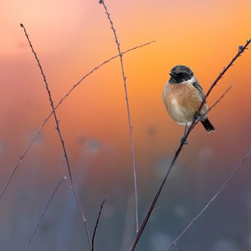 European Stonechat  - Android, iPhone, Desktop HD Backgrounds / Wallpapers (1080p, 4k) HD Wallpapers (Desktop Background / Android / iPhone) (1080p, 4k)