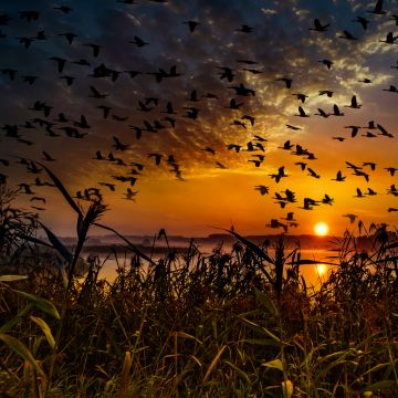 Flock Of Birds Flying At Dawn Time - Android / iPhone HD Wallpaper Background Download HD Wallpapers (Desktop Background / Android / iPhone) (1080p, 4k)