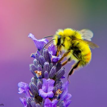 Honey Bee Lavendar Nectar - Android / iPhone HD Wallpaper Background Download HD Wallpapers (Desktop Background / Android / iPhone) (1080p, 4k)