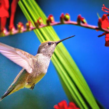 Hummingbird Bird - Android, iPhone, Desktop HD Backgrounds / Wallpapers (1080p, 4k) HD Wallpapers (Desktop Background / Android / iPhone) (1080p, 4k)