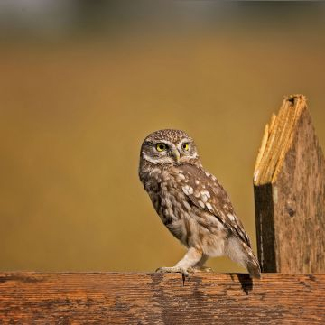 Little Owl - Android, iPhone, Desktop HD Backgrounds / Wallpapers (1080p, 4k) HD Wallpapers (Desktop Background / Android / iPhone) (1080p, 4k)