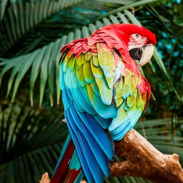 Macaw Colorful Bird - Android, iPhone, Desktop HD Backgrounds / Wallpapers (1080p, 4k) HD Wallpapers (Desktop Background / Android / iPhone) (1080p, 4k)