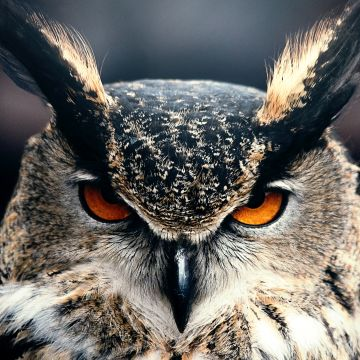 Owl Closeup - Android, iPhone, Desktop HD Backgrounds / Wallpapers (1080p, 4k) HD Wallpapers (Desktop Background / Android / iPhone) (1080p, 4k)