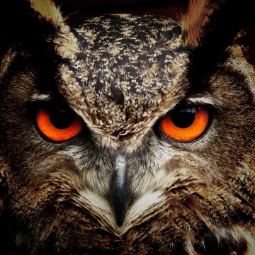 Owl Eagle Eyes - Android, iPhone, Desktop HD Backgrounds / Wallpapers (1080p, 4k) HD Wallpapers (Desktop Background / Android / iPhone) (1080p, 4k)