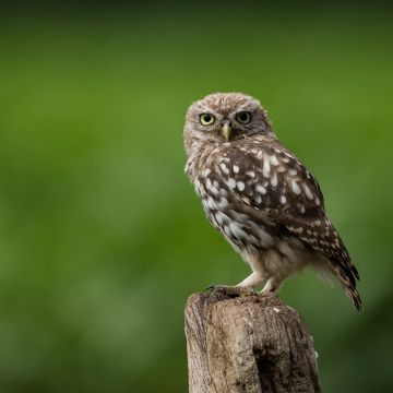 Owl Looking - Android, iPhone, Desktop HD Backgrounds / Wallpapers (1080p, 4k) HD Wallpapers (Desktop Background / Android / iPhone) (1080p, 4k)