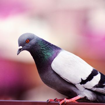 Pigeon - Android, iPhone, Desktop HD Backgrounds / Wallpapers (1080p, 4k) HD Wallpapers (Desktop Background / Android / iPhone) (1080p, 4k)