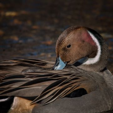 Pintail Duck - Android, iPhone, Desktop HD Backgrounds / Wallpapers (1080p, 4k) HD Wallpapers (Desktop Background / Android / iPhone) (1080p, 4k)