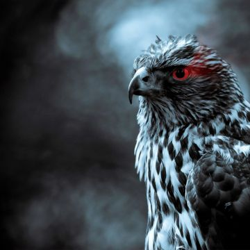 Red Eye Eagle - Android, iPhone, Desktop HD Backgrounds / Wallpapers (1080p, 4k) HD Wallpapers (Desktop Background / Android / iPhone) (1080p, 4k)