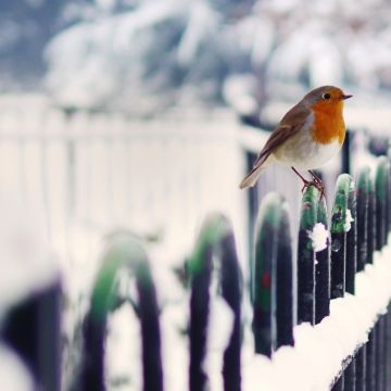 Robins In Snow - Android, iPhone, Desktop HD Backgrounds / Wallpapers (1080p, 4k) HD Wallpapers (Desktop Background / Android / iPhone) (1080p, 4k)
