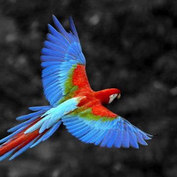 Scarlet Macaw Bird - Android, iPhone, Desktop HD Backgrounds / Wallpapers (1080p, 4k) HD Wallpapers (Desktop Background / Android / iPhone) (1080p, 4k)