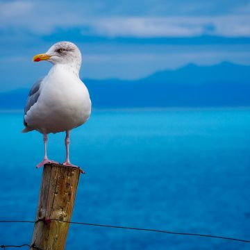 Seagull Birds Hd - Android, iPhone, Desktop HD Backgrounds / Wallpapers (1080p, 4k) HD Wallpapers (Desktop Background / Android / iPhone) (1080p, 4k)