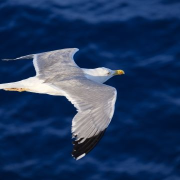 Seagull Flying  - Android, iPhone, Desktop HD Backgrounds / Wallpapers (1080p, 4k) HD Wallpapers (Desktop Background / Android / iPhone) (1080p, 4k)