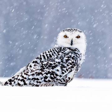 White Owl In Snow  - Android, iPhone, Desktop HD Backgrounds / Wallpapers (1080p, 4k) HD Wallpapers (Desktop Background / Android / iPhone) (1080p, 4k)