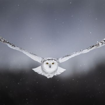 White Snow Owl Flying - Android / iPhone HD Wallpaper Background Download HD Wallpapers (Desktop Background / Android / iPhone) (1080p, 4k)