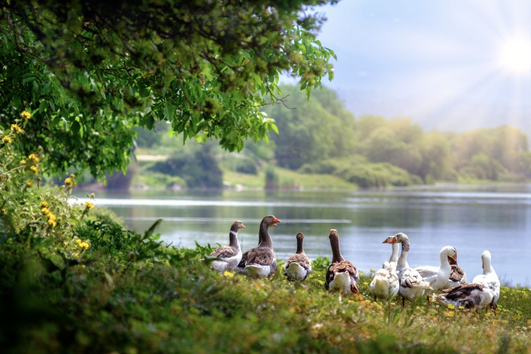 Wild Geese - Android, iPhone, Desktop HD Backgrounds / Wallpapers (1080p, 4k) HD Wallpapers (Desktop Background / Android / iPhone) (1080p, 4k) (698655) - Birds