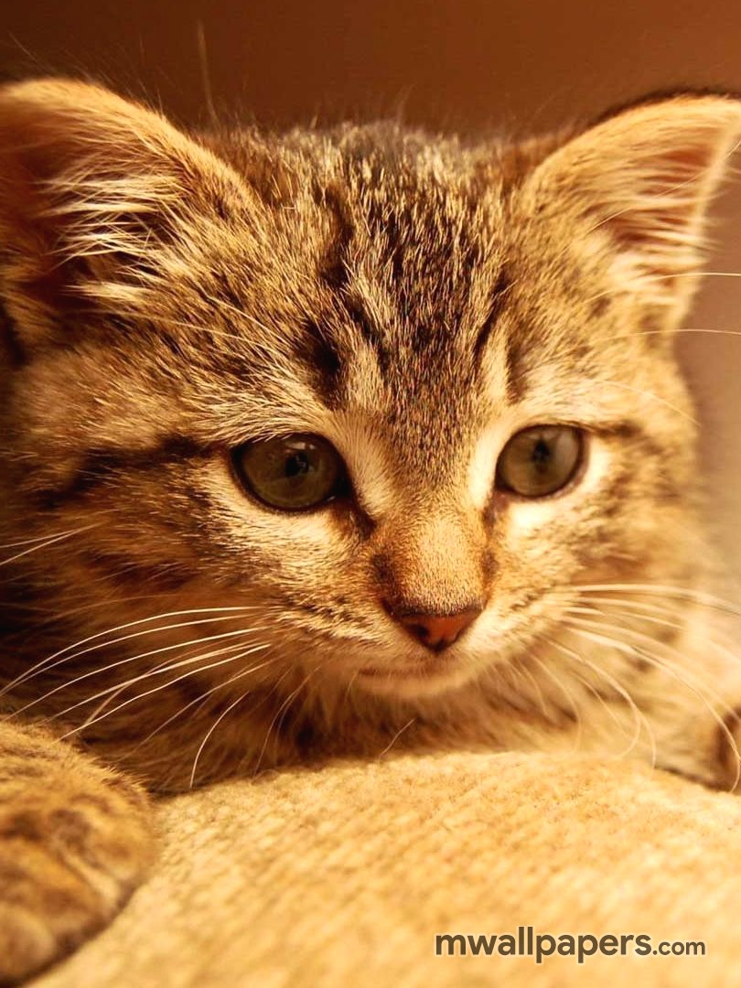 Cute Kitten Wallpaper HD (527) - Cats