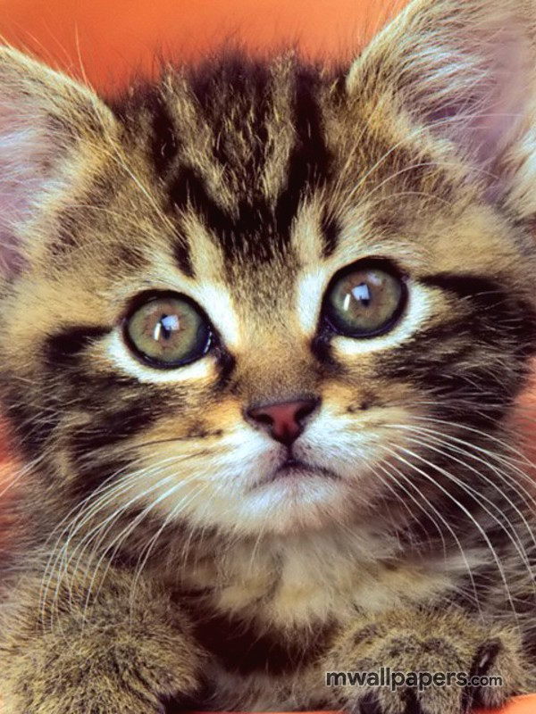 Cute Kitten Wallpaper HD (524) - Cats