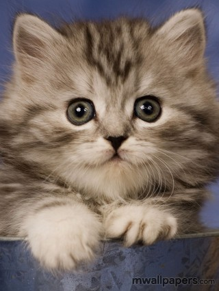 Cute Kitten Wallpaper HD