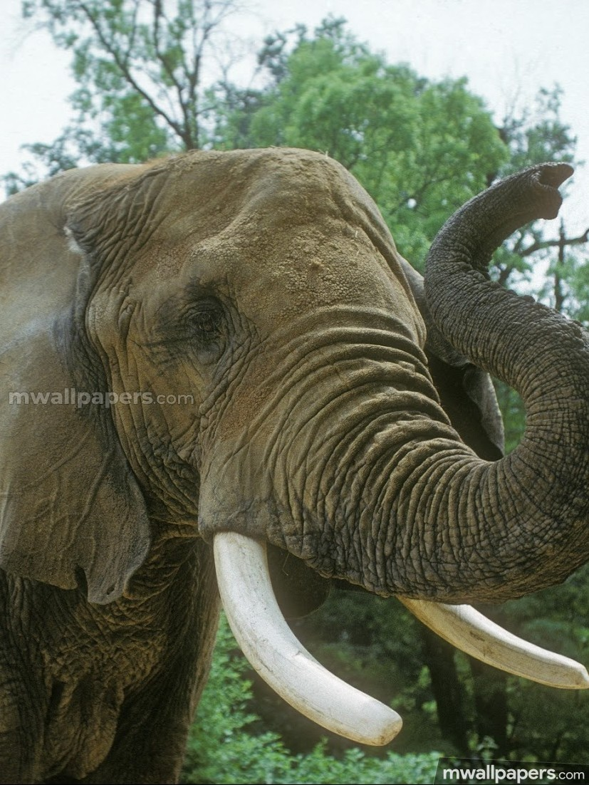 Elephants HD Photos & Wallpapers (1080p) (13096) - elephants, animal, hd images, wallpapers, hd photos