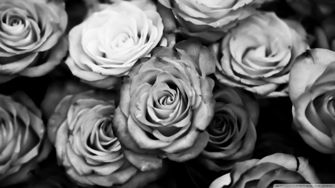 Black roses - Android, iPhone, Desktop HD Backgrounds / Wallpapers (1080p, 4k) HD Wallpapers (Desktop Background / Android / iPhone) (1080p, 4k)