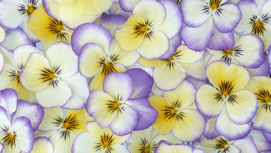 Pansy - Android, iPhone, Desktop HD Backgrounds / Wallpapers (1080p, 4k) HD Wallpapers (Desktop Background / Android / iPhone) (1080p, 4k)