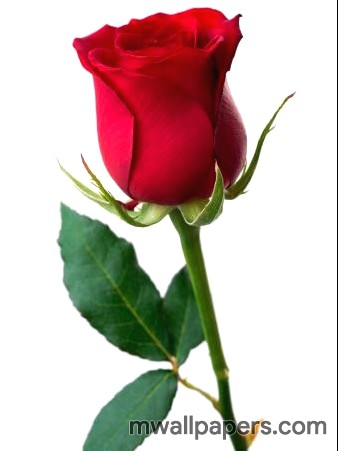 Red Rose HD Images and Wallpapers (1080p) (4341) - Roses