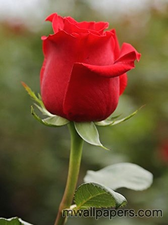 Red Rose HD Images and Wallpapers (1080p) (4325) - Roses