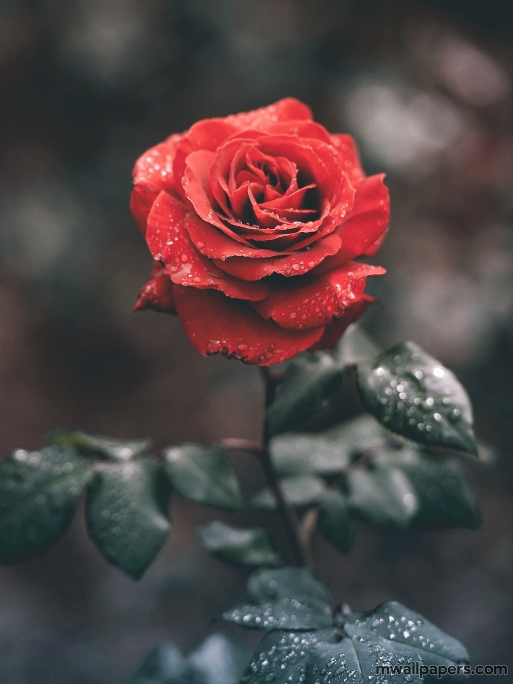 110 flowers 2019 hd photos wallpapers download - Red rose flower hd images ...
