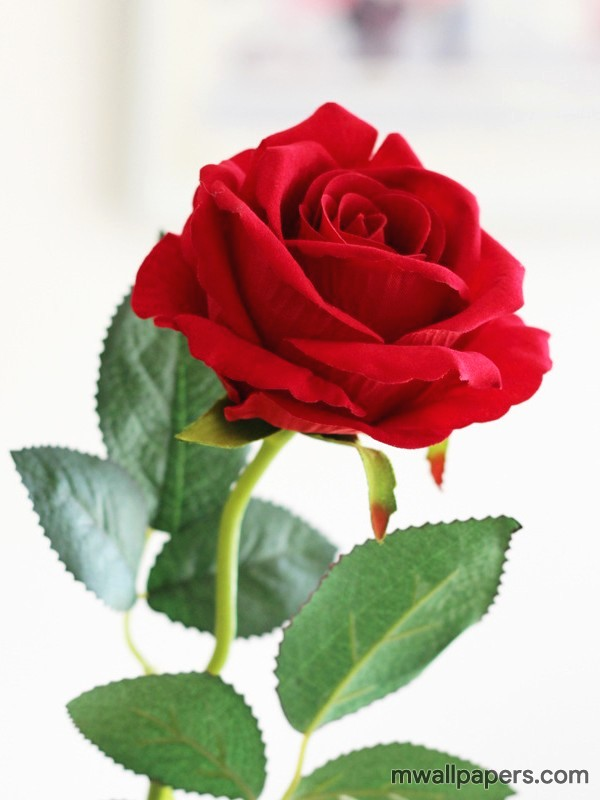 Red Rose HD Images and Wallpapers (1080p) (4343) - Roses