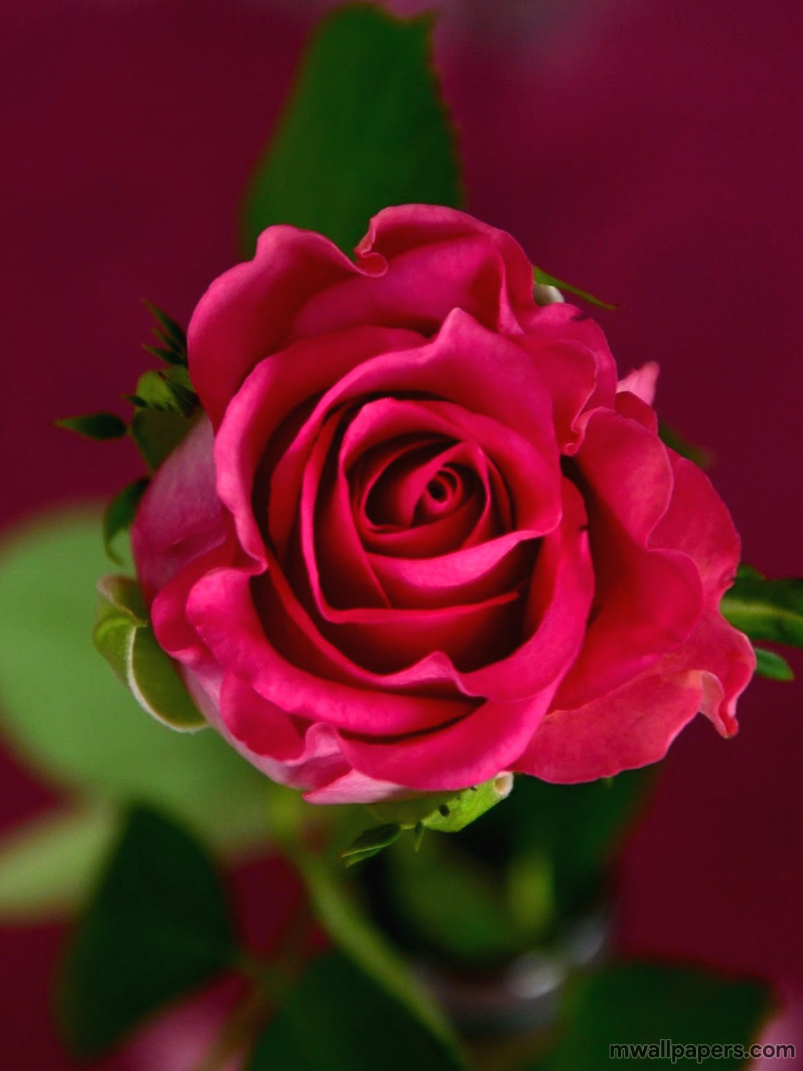 Red Rose HD Images and Wallpapers (1080p) (4330) - Roses
