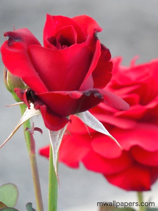 Red Rose HD Images and Wallpapers (1080p) (4345) - Roses