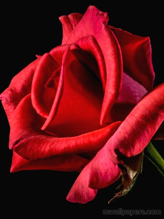 Red Rose HD Images and Wallpapers (1080p) (4331) - Roses